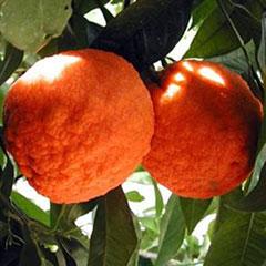 Citrus natural metabolism booster
