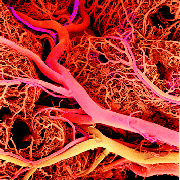 Inflammation Blood Vessels