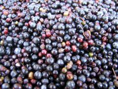 Elderberry Herb